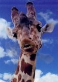 Pictomotion Card - Giraffe %